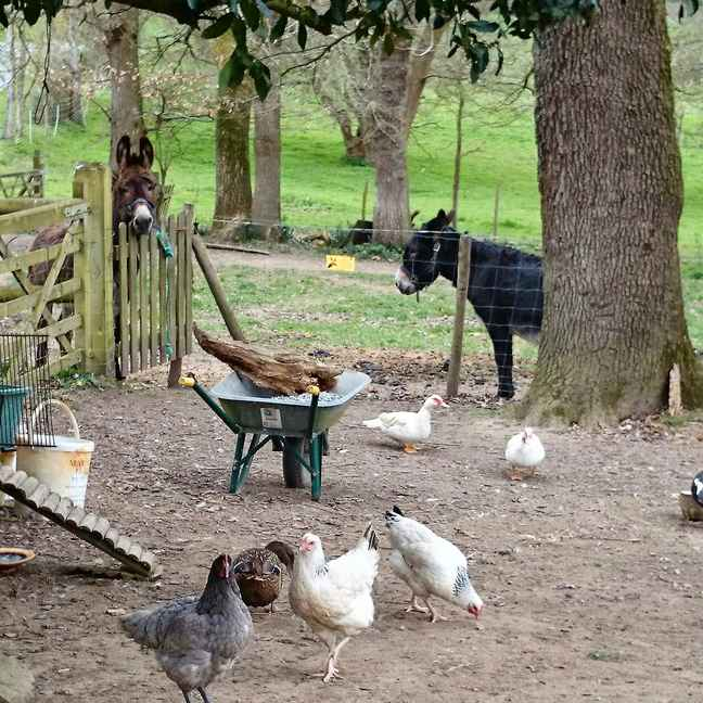 Breton countryside with donkeys and chickens